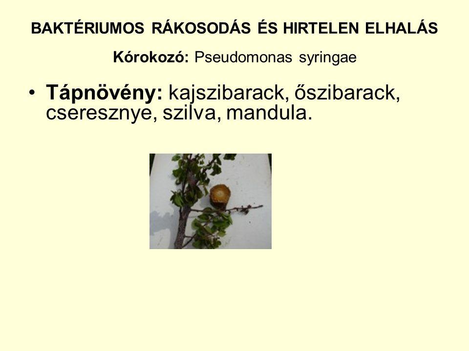 BAKTÉRIUMOS RÁKOSODÁS ÉS HIRTELEN ELHALÁS Kórokozó: Pseudomonas syringae Tápnövény: kajszibarack, őszibarack, cseresznye, szilva, mandula.