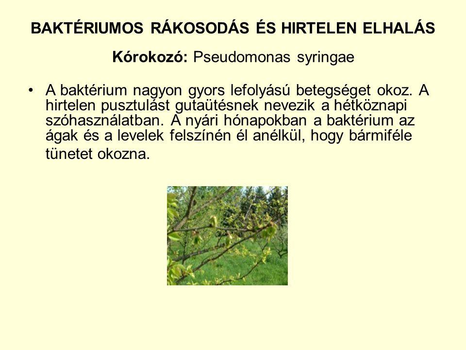 BAKTÉRIUMOS RÁKOSODÁS ÉS HIRTELEN ELHALÁS Kórokozó: Pseudomonas syringae A baktérium nagyon gyors lefolyású betegséget okoz.