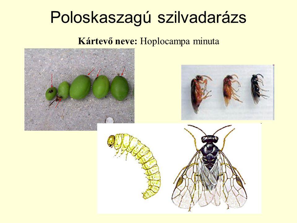 Poloskaszagú szilvadarázs Kártevő neve: Hoplocampa minuta