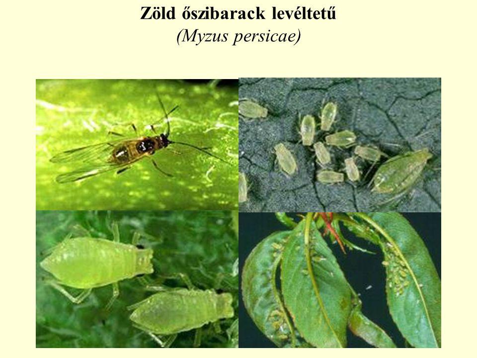 Zöld őszibarack levéltetű (Myzus persicae)