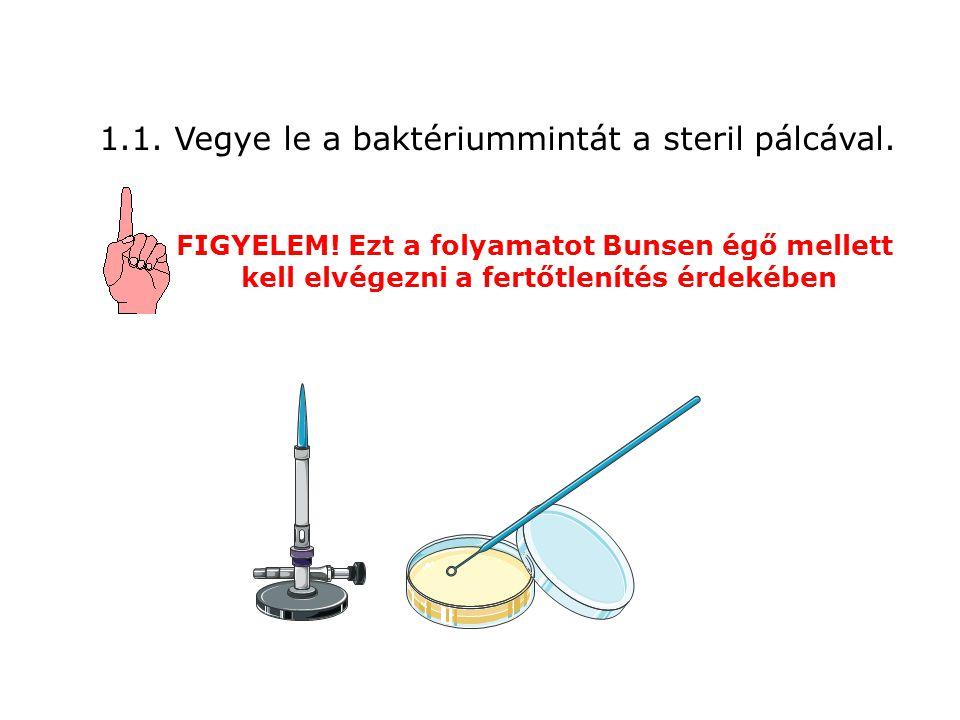 1.1. Vegye le a baktériummintát a steril pálcával. FIGYELEM! Ezt a folyamatot Bunsen égő mellett kell elvégezni a fertőtlenítés érdekében