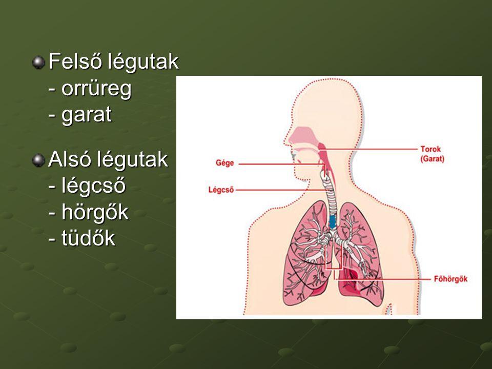 Felső légutak Feladata: a levegő - felmelegítése - tisztítása - párásítás (- hangképzés) Légvétel: - orron keresztül - szájon keresztül