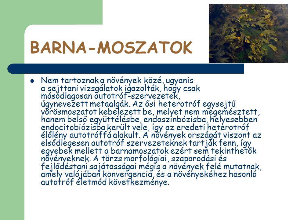 BARNA-MOSZATOK Nem tartoznak a növények közé, ugyanis a sejttani vizsgálatok igazolták, hogy csak másodlagosan autotróf-szervezetek, úgynevezett metaa