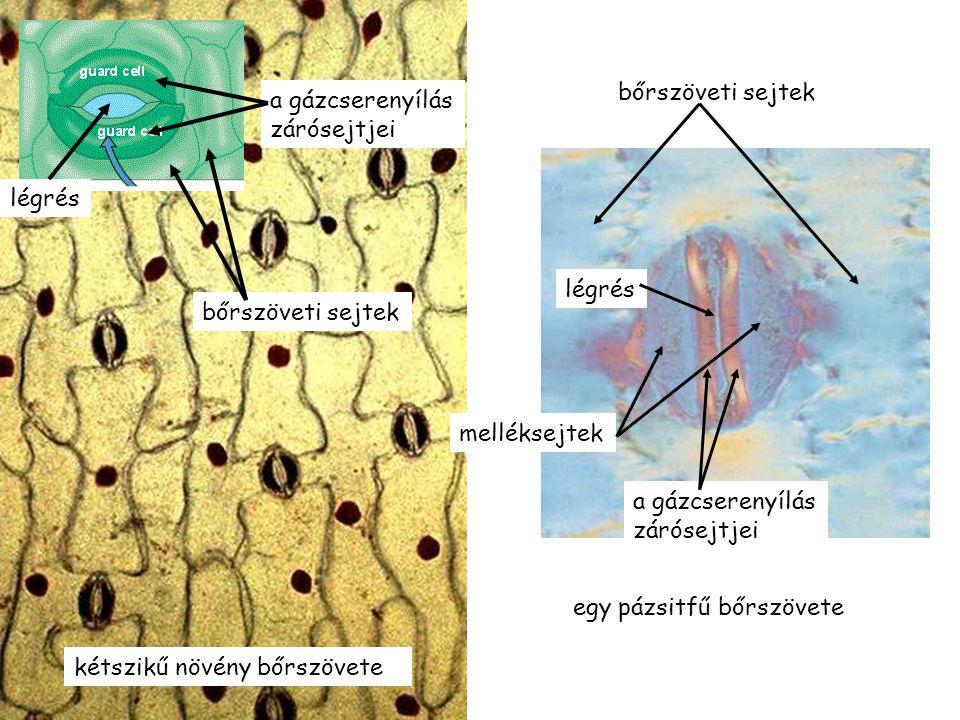 kétszikű növény bőrszövete a gázcserenyílás zárósejtjei légrés bőrszöveti sejtek a gázcserenyílás zárósejtjei légrés melléksejtek egy pázsitfű bőrszövete