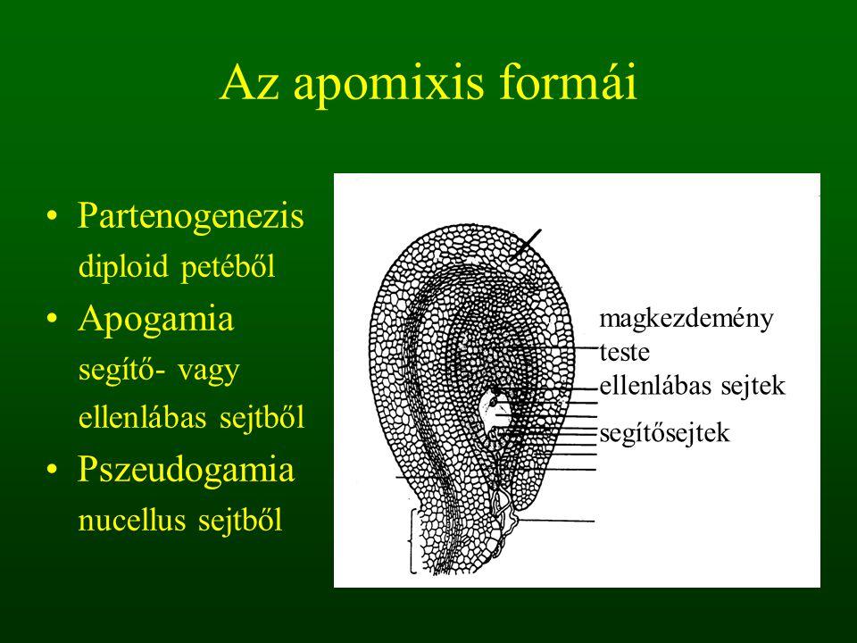 Az apomixis formái Partenogenezis diploid petéből Apogamia segítő- vagy ellenlábas sejtből Pszeudogamia nucellus sejtből magkezdemény teste ellenlábas