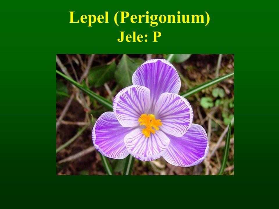 Lepel (Perigonium) Jele: P