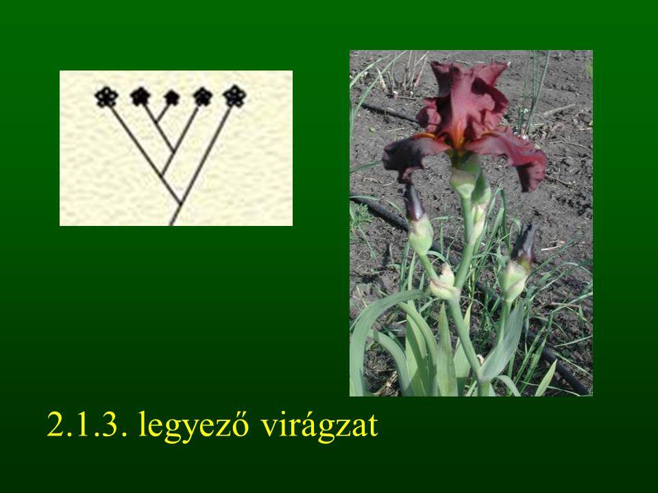 2.1.3. legyező virágzat