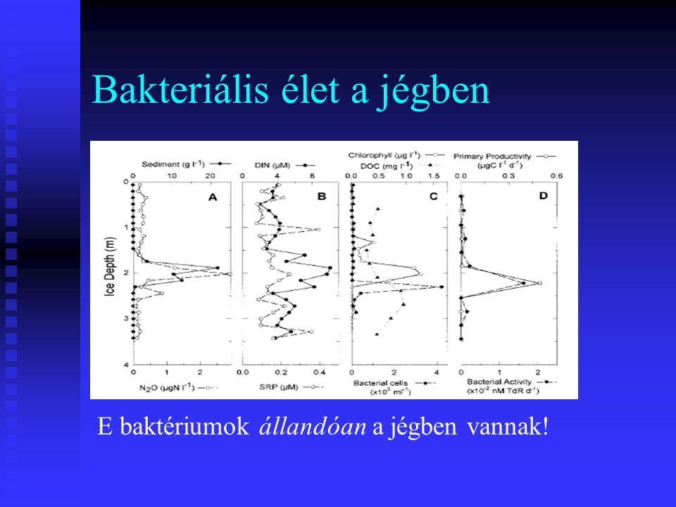 Bakteriális élet a jégben E baktériumok állandóan a jégben vannak!