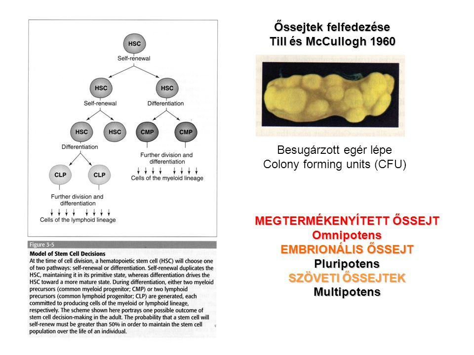 Besugárzott egér lépe Colony forming units (CFU) Őssejtek felfedezése Till és McCullogh 1960 MEGTERMÉKENYÍTETT ŐSSEJT Omnipotens EMBRIONÁLIS ŐSSEJT Pl