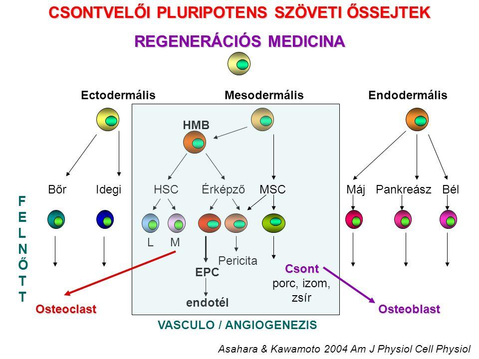 CSONTVELŐI PLURIPOTENS SZÖVETI ŐSSEJTEK REGENERÁCIÓS MEDICINA EctodermálisMesodermálisEndodermális FELNŐTTFELNŐTT Máj Pankreász Bél Asahara & Kawamoto 2004 Am J Physiol Cell Physiol L M HMB Pericita EPC endotél VASCULO / ANGIOGENEZIS BőrIdegi HSCÉrképző Csont porc, izom, zsír MSC Osteoblast Osteoclast