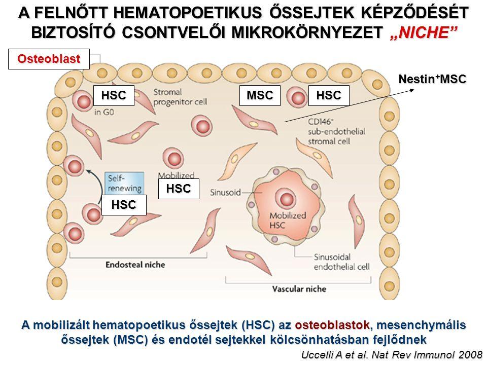 """A FELNŐTT HEMATOPOETIKUS ŐSSEJTEK KÉPZŐDÉSÉT BIZTOSÍTÓ CSONTVELŐI MIKROKÖRNYEZET """"NICHE Osteoblast MSCHSC HSC HSC HSC A mobilizált hematopoetikus őssejtek (HSC) az osteoblastok, mesenchymális őssejtek (MSC) és endotél sejtekkel kölcsönhatásban fejlődnek Uccelli A et al."""