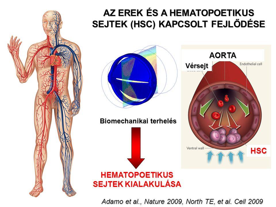 Biomechanikai terhelés HEMATOPOETIKUS SEJTEK KIALAKULÁSA Vérsejt AORTA HSC AZ EREK ÉS A HEMATOPOETIKUS SEJTEK (HSC) KAPCSOLT FEJLŐDÉSE Adamo et al., N