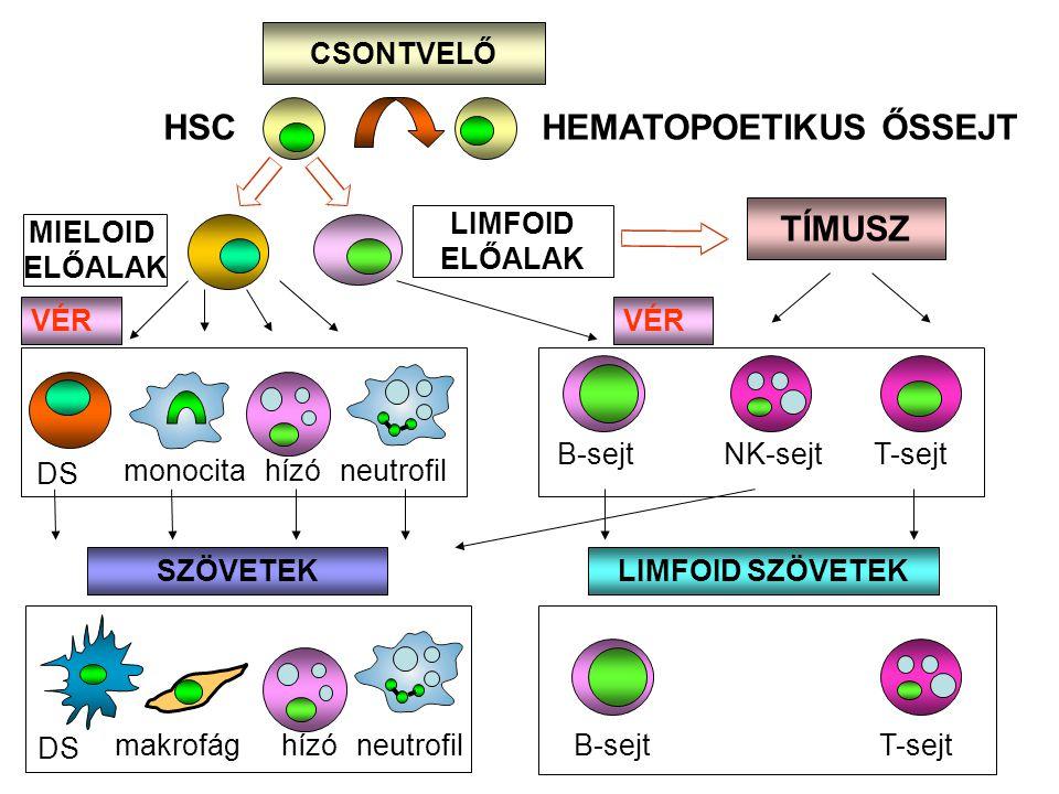 MIELOID ELŐALAK CSONTVELŐ HSC HEMATOPOETIKUS ŐSSEJT monocita neutrofil hízó DS makrofághízóneutrofil SZÖVETEK VÉR B-sejtT-sejt LIMFOID ELŐALAK TÍMUSZ T-sejtNK-sejt B-sejt VÉR LIMFOID SZÖVETEK DS
