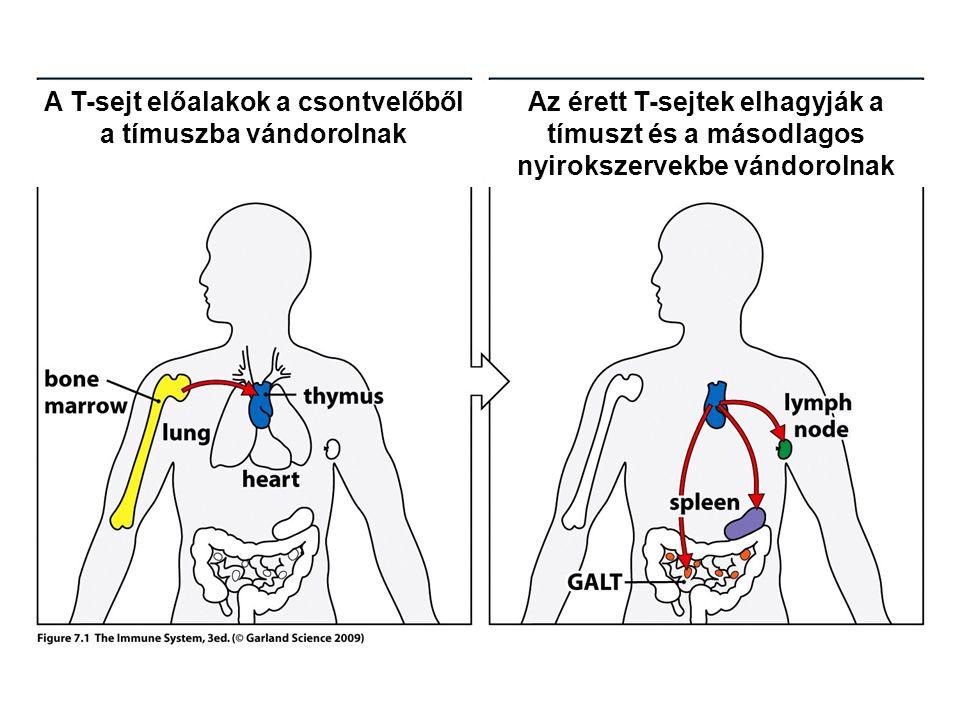 A T-sejt előalakok a csontvelőből a tímuszba vándorolnak Az érett T-sejtek elhagyják a tímuszt és a másodlagos nyirokszervekbe vándorolnak