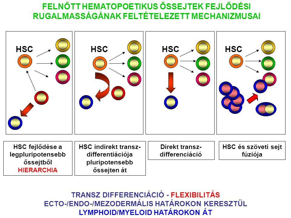 HSC fejlődése a legpluripotensebb őssejtből HIERARCHIA FELNŐTT HEMATOPOETIKUS ŐSSEJTEK FEJLŐDÉSI RUGALMASSÁGÁNAK FELTÉTELEZETT MECHANIZMUSAI HSC HSC indirekt transz- differentiációja pluripotensebb őssejten át HSC Direkt transz- differenciáció HSC és szöveti sejt fúziója TRANSZ DIFFERENCIÁCIÓ - FLEXIBILITÁS ECTO-/ENDO-/MEZODERMÁLIS HATÁROKON KERESZTÜL LYMPHOID/MYELOID HATÁROKON ÁT