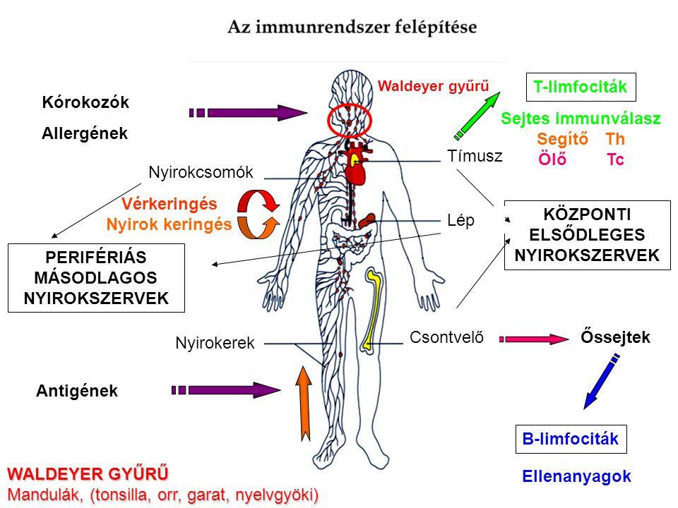 AZ IMMUNRENDSZER SZERVEZŐDÉSE A LIMFOCITÁK SPECIÁLIS SZERVEKBEN TÖMÖRÜLNEK KÖZPONTI (ELSŐDLEGES) LIMFOID SZERVEK –Csontvelő –Tímusz DIFFERENCIÁLÓDÁS AZ ANTIGÉNFELISMERŐ FUNKCIÓIG PERIFÉRIÁS (MÁSODLAGOS) LIMFOID SZERVEK –Lép –Nyirokcsomók –Bőr asszociált limfoid szövetek Skin-associated lymphoid tissue (SALT) –Mukóza asszociált limfoid szövetek Mucosa-associated lymphoid tissue (MALT) –Bél-asszociált limfoid szövetek Gut-associated lymphoid tissue (GALT) –Légzőszervekhez asszociált limfoid szövetek Bronchial tract-associated lymphoid tissue (BALT) AKTIVÁCIÓ ÉS EFFEKTOR SEJTTÉ TÖRTÉNŐ DIFFERENCIÁCIÓ A VÉR ÉS NYIROK KERINGÉS KAPCSOLATA –Nyirok rendszer – szövetekben eredő nyirok erek –Nyirok – szövet közötti, interstitiális folyadék és immunsejtek –Nincs pumpa– egyirányú billentyűk irányítják, testmozgás – ödéma –Naponta több liter (3 – 5) nyirok visszakerül a vérbe – vena cava superior
