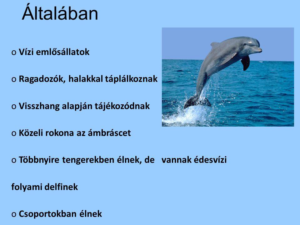 Általában o Vízi emlősállatok o Ragadozók, halakkal táplálkoznak o Visszhang alapján tájékozódnak o Közeli rokona az ámbráscet o Többnyire tengerekben