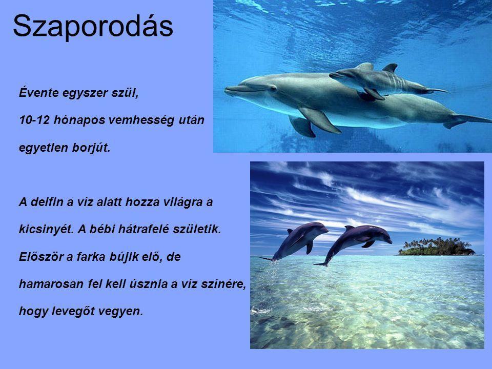 Szaporodás Évente egyszer szül, 10-12 hónapos vemhesség után egyetlen borjút. A delfin a víz alatt hozza világra a kicsinyét. A bébi hátrafelé születi