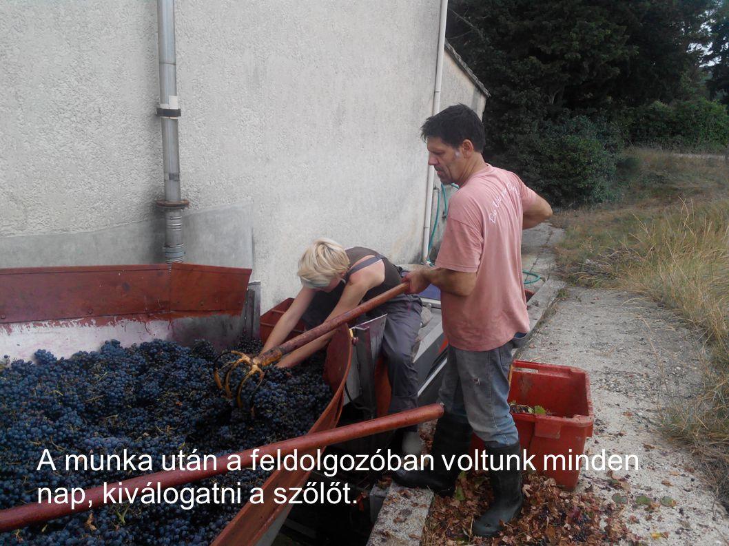 A munka után a feldolgozóban voltunk minden nap, kiválogatni a szőlőt.