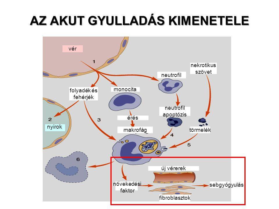 AZ AKUT GYULLADÁS KIMENETELE nekrotikus szövet neutrofil törmelék növekedési faktor fibroblasztok új vérerek monocita érés neutrofil apoptózis vér nyirok sebgyógyulás folyadék és fehérjék makrofág