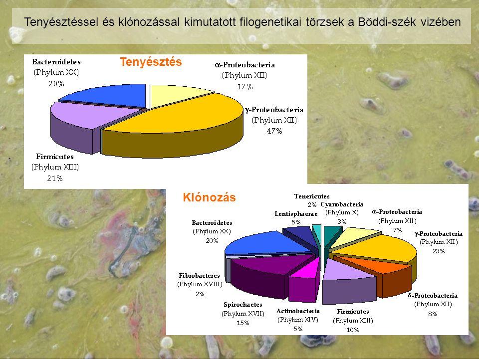 Tenyésztéssel és klónozással kimutatott filogenetikai törzsek a Böddi-szék vizében Tenyésztés Klónozás
