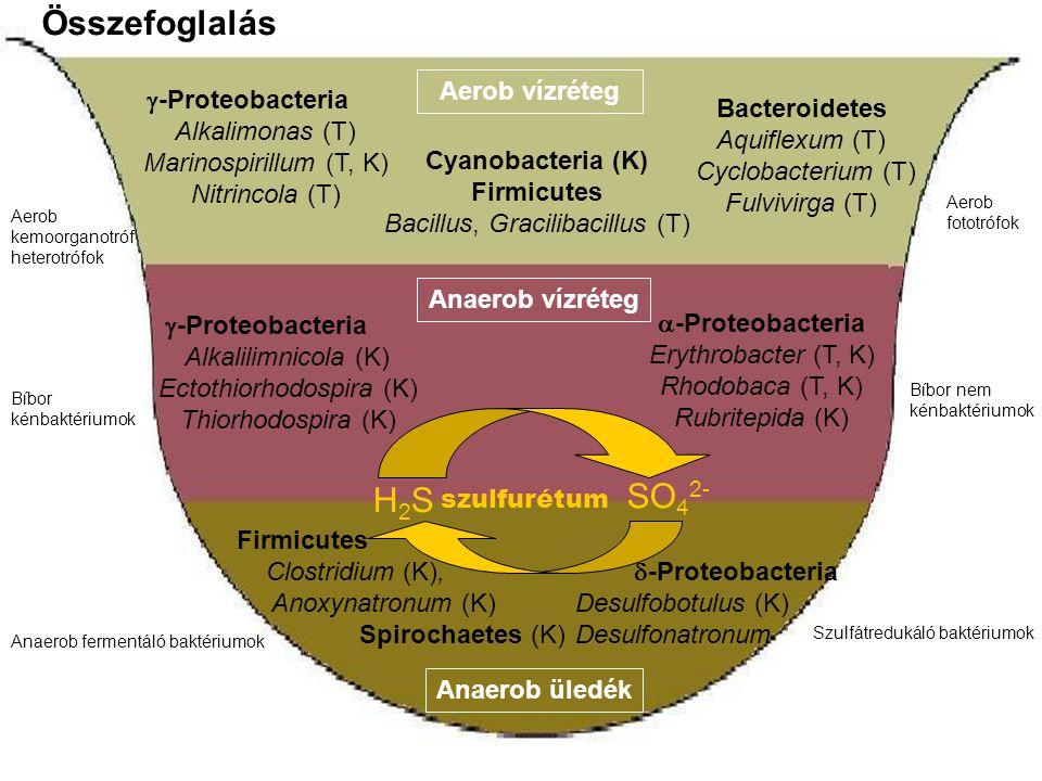 Aerob vízréteg Anaerob vízréteg Anaerob üledék Aerob kemoorganotróf heterotrófok Aerob fototrófok  -Proteobacteria Alkalimonas (T) Marinospirillum (T