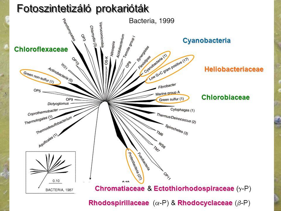 Fotoszintetizáló prokarióták Chloroflexaceae Chlorobiaceae Chromatiaceae & Ectothiorhodospiraceae ( Chromatiaceae & Ectothiorhodospiraceae (  -P) Rho