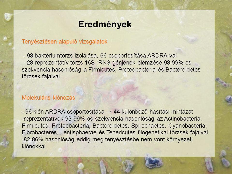 Eredmények Tenyésztésen alapuló vizsgálatok - 93 baktériumtörzs izolálása, 66 csoportosítása ARDRA-val - 23 reprezentatív törzs 16S rRNS génjének elem