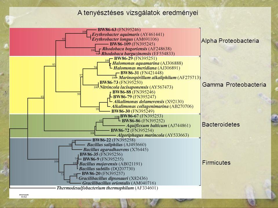 A tenyésztéses vizsgálatok eredményei Alpha Proteobacteria Gamma Proteobacteria Bacteroidetes Firmicutes
