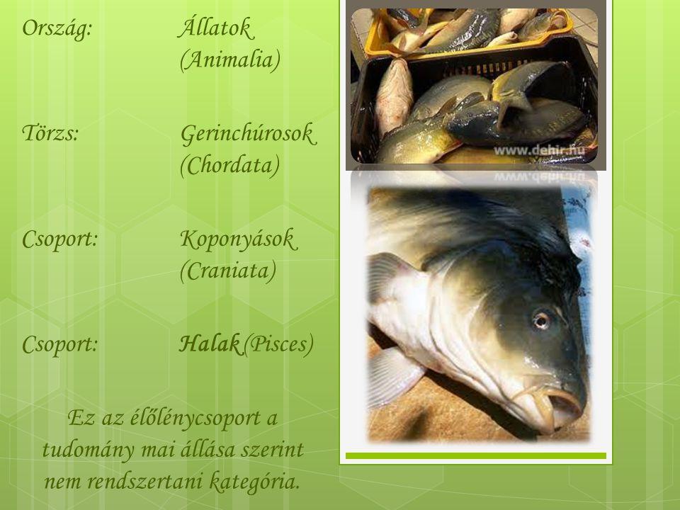 Ország:Állatok (Animalia) Törzs:Gerinchúrosok (Chordata) Csoport:Koponyások (Craniata) Csoport:Halak (Pisces) Ez az élőlénycsoport a tudomány mai állása szerint nem rendszertani kategória.