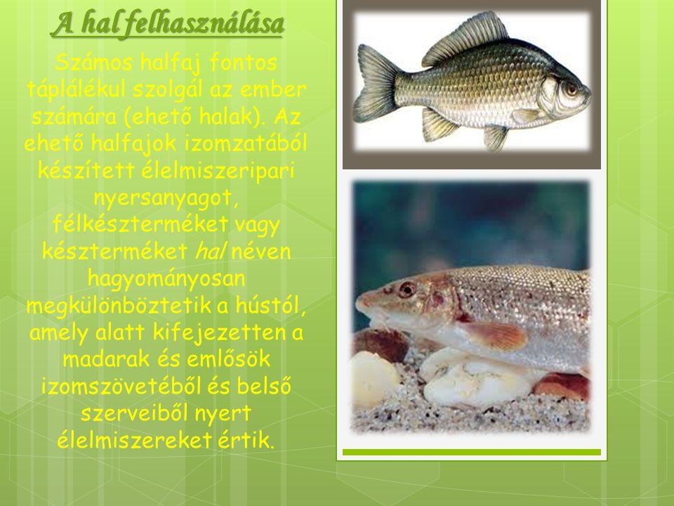 A hal felhasználása Számos halfaj fontos táplálékul szolgál az ember számára (ehető halak). Az ehető halfajok izomzatából készített élelmiszeripari ny