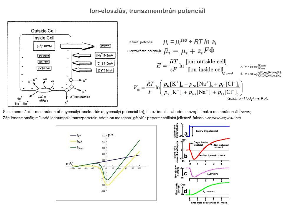 """Ion-eloszlás, transzmembrán potenciál Goldman-Hodgkins-Katz μ i = μ i std + RT ln a i Kémiai potenciál Elektrokémiai potenciál Nernst Szemipermeábilis membránon át egyensúlyi ioneloszlás (egyensúlyi potenciál kb), ha az ionok szabadon mozoghatnak a membránon át ( Nernst) Zárt ioncsatornák; működő ionpumpák, transzporterek: adott ion mozgása """"gátolt : p=permeábilitást jellemző faktor (Goldman-Hodgkins-Katz)"""