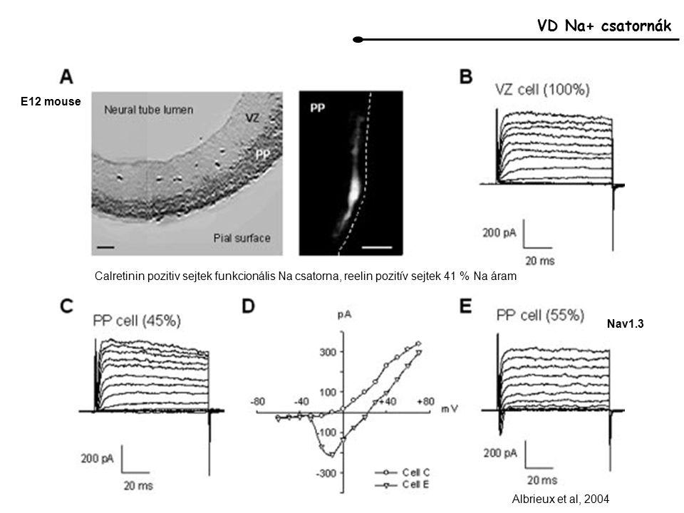 VD Na+ csatornák Albrieux et al, 2004 Nav1.3 E12 mouse Calretinin pozitiv sejtek funkcionális Na csatorna, reelin pozitív sejtek 41 % Na áram