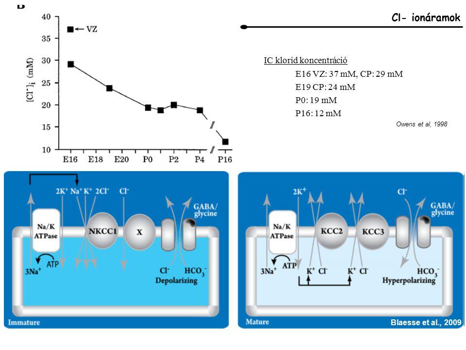 Owens et al, 1998 Cl- ionáramok E16 VZ: 37 mM, CP: 29 mM E19 CP: 24 mM P0: 19 mM P16: 12 mM IC klorid koncentráció Blaesse et al., 2009