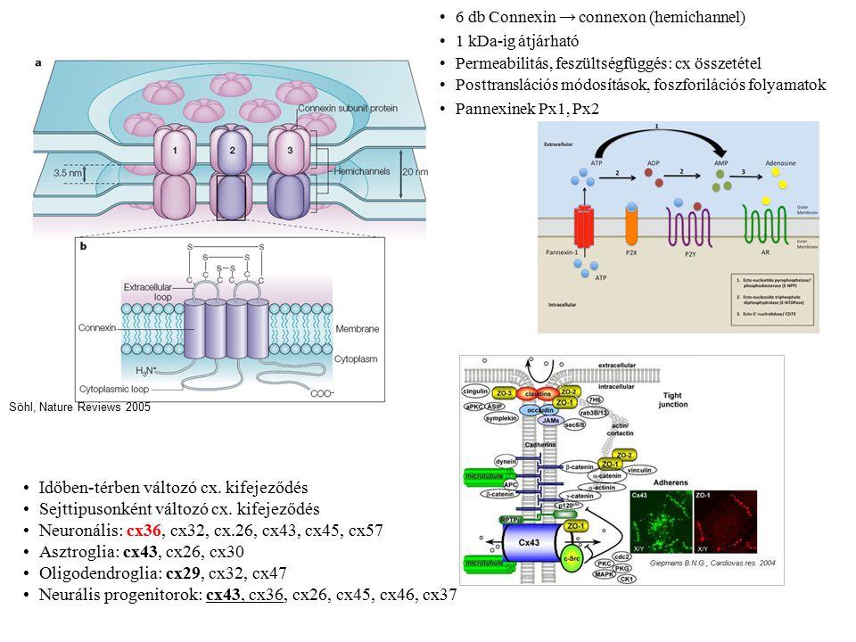 """GJ Ca2+ hullám generálás VZ: ATP ürülés P2Y1 R aktiválódik a szomszédokon IP3 mediált Ca2+ ürülés a raktárakból Ca2+ hullám ν, méret, távolság növekszik fejlődés során E16 rat: GJ block → S fázisba lépés csökkent Gap Junction Funkciók VZ clusterei Felnőtt SVZ: GJ kapcsolt csoportok """"Cx43 osztódó sejtek általános jellemzője Fejlődés során kapcsoltság csökken (E15 rat) bFGF – cx43 upreguláció Posztmitotikus neuronok migrációja RG, RMS Fejlődő kéreg: aktivitás terjedés, szinkronizáció Elias, Kriegstein; TINS 2008"""