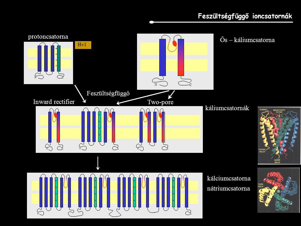 Feszültségfüggő káliumcsatornák (75 gén) Szulfonil-urea receptor; I c ATP/ADP szensiív K-csatorna
