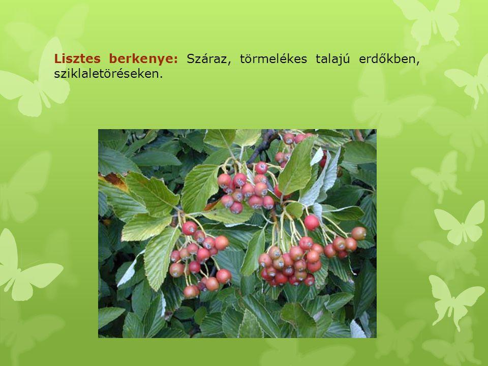 Lisztes berkenye: Száraz, törmelékes talajú erdőkben, sziklaletöréseken.