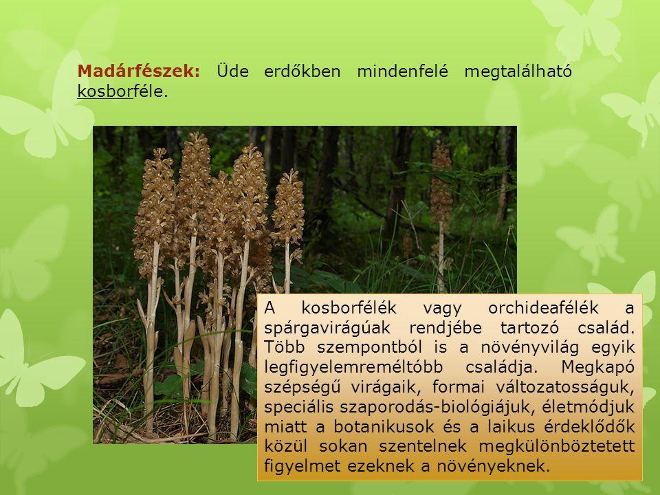 Madárfészek: Üde erdőkben mindenfelé megtalálható kosborféle.