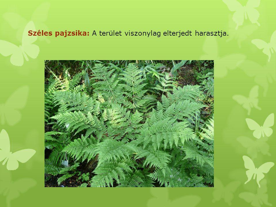 Széleslevelű nőszőfű: Mezofil erdőkben széles körűen elterjedt, a kislevelű sőszőfű után a leggyakoribb nőszőfű- faj.