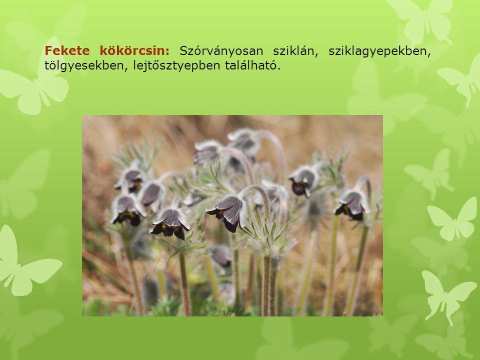 Majomkosbor: Az Északi-középhegység egyetlen kisebb populációja itt található.
