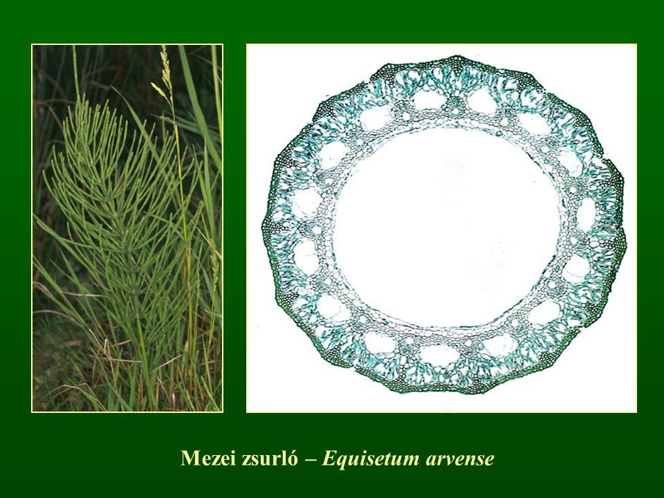 Mezei zsurló – Equisetum arvense