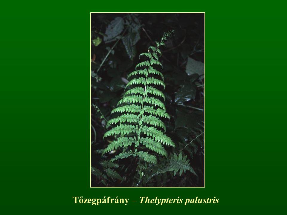Tőzegpáfrány – Thelypteris palustris