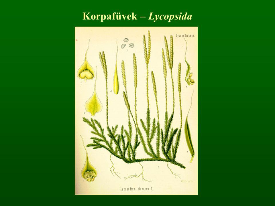 Korpafüvek – Lycopsida