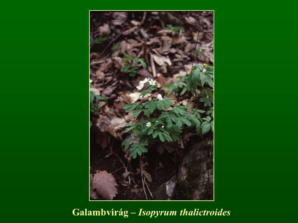 Galambvirág – Isopyrum thalictroides