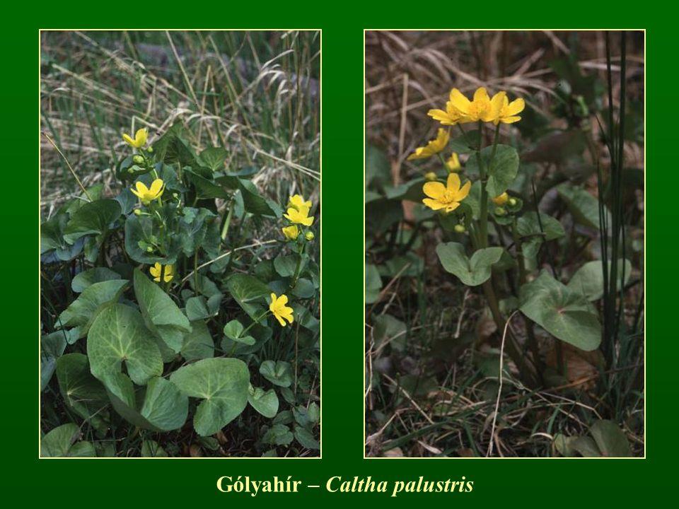 Gólyahír – Caltha palustris