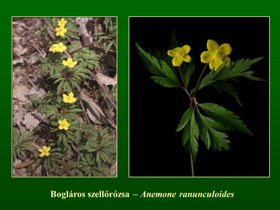 Bogláros szellőrózsa – Anemone ranunculoides