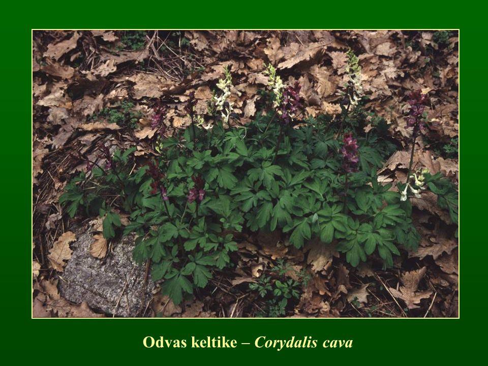 Odvas keltike – Corydalis cava