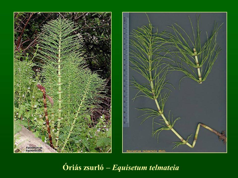 Óriás zsurló – Equisetum telmateia