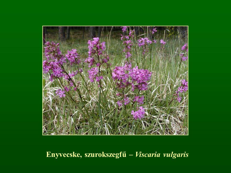 Enyvecske, szurokszegfű – Viscaria vulgaris