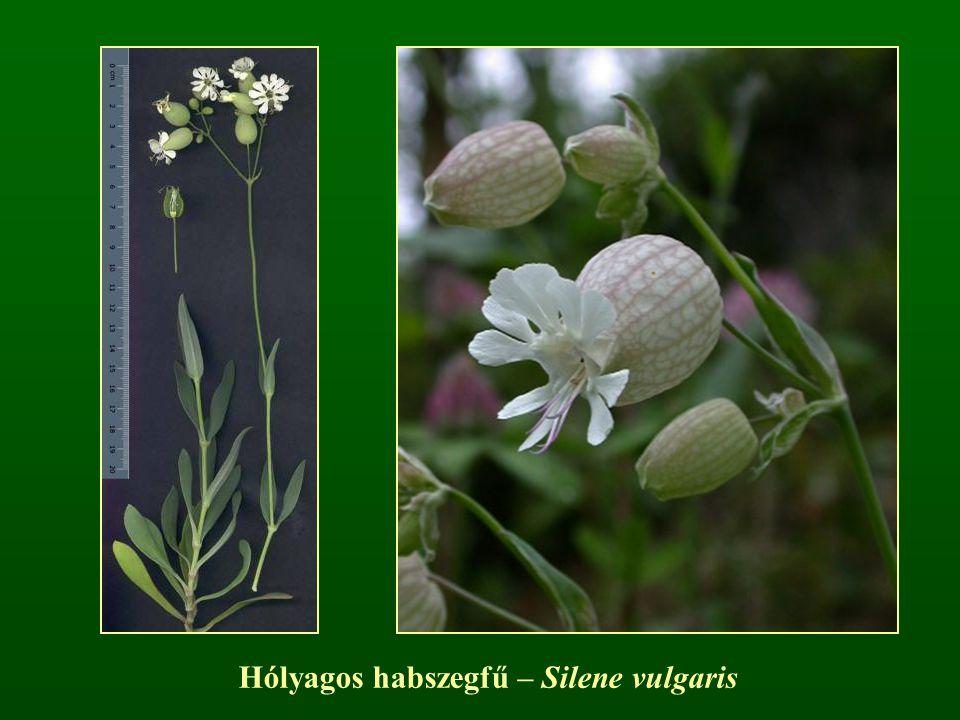 Hólyagos habszegfű – Silene vulgaris